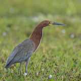 Rufescent Tiger-Heron (2)