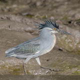 Striated Heron (6)