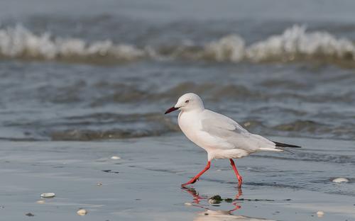 Slender-billed Gull - Tanji Beach, Kombo South