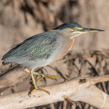 Striated Heron (7)