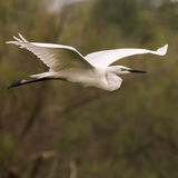 Great White Egret (3)