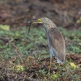 Squacco Heron (4)