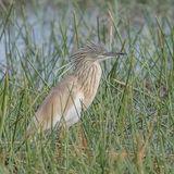 Squacco Heron (6)