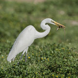 Great White Egret (5)