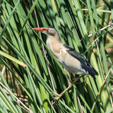 Little Bittern (4)