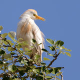 Western Cattle Egret (1)