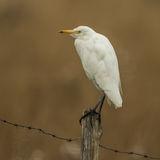 Western Cattle Egret (3)