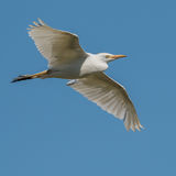 Western Cattle Egret (5)