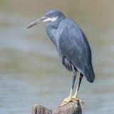 Western Reef-Heron (2)