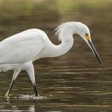 Snowy Egret (1)