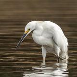 Snowy Egret (2)