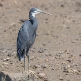 Western Reef-Heron (4)