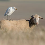 Western Cattle Egret (6)