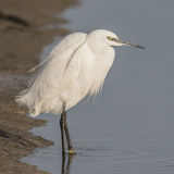 Little Egret (4)