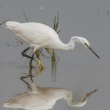 Little Egret (5)