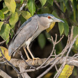 Black-crowned Night-Heron (4)