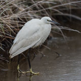 Little Egret (6)