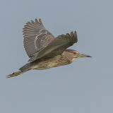 Black-crowned Night-Heron (5)