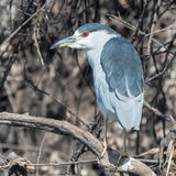 Black-crowned Night-Heron (6)