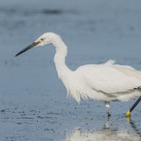 Little Egret (7)