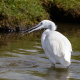 Little Egret (8)