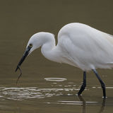 Little Egret (9)