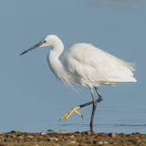 Little Egret (10)