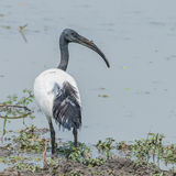 African Sacred Ibis (1)