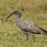 Plumbeous Ibis (2)