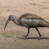 Hadada Ibis (1)