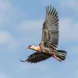 Buff-necked Ibis (4)