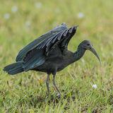 Green Ibis (1)
