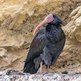 Northern Bald Ibis (4)