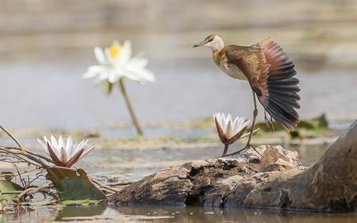 African Jacana (immature) - Dalaba Wetlands, Niamina East