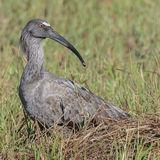 Plumbeous Ibis (3)