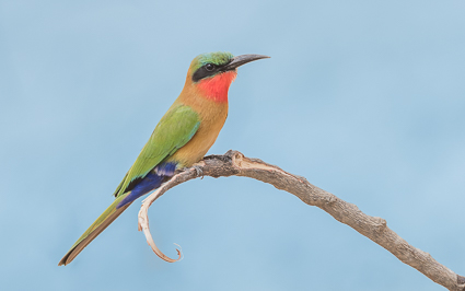 Red-throated Bee-eater - Wassu, Niani