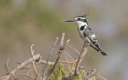 Pied Kingfisher - Gambia River, Niani