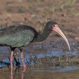 Bare-faced Ibis (3)