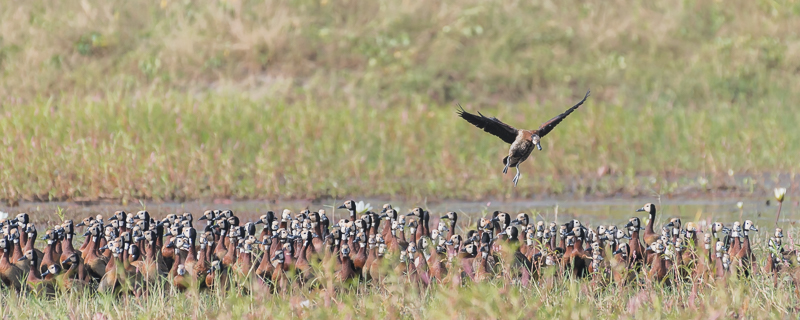 White-faced Whistling-Ducks - Kartong Wetlands, Kombo South