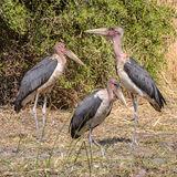 Marabou Stork (2)