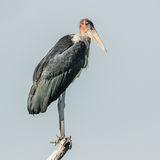 Marabou Stork (1)