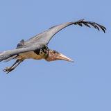 Marabou Stork (3)