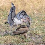 Marabou Stork (4)