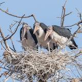 Marabou Stork (7)