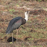 African Woolly-necked Stork (2)