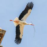 White Stork (1)