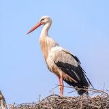White Stork (2)
