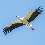 White Stork (3)