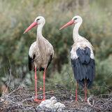 White Stork (8)