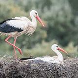White Stork (9)